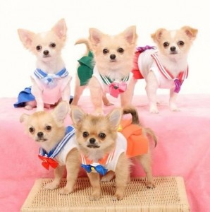 sailor-moon-chihuahuas